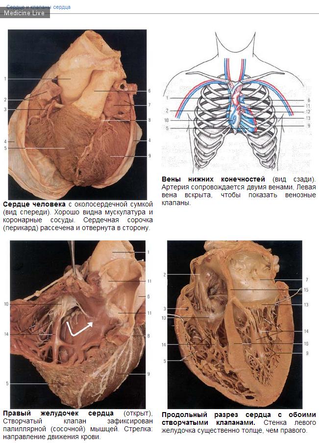 Полезные материалы: Материалы по анатомии и гистологии