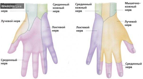 Анатомия: Нервы руки/кисти