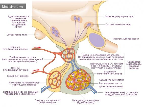 Физиология: гипофиз