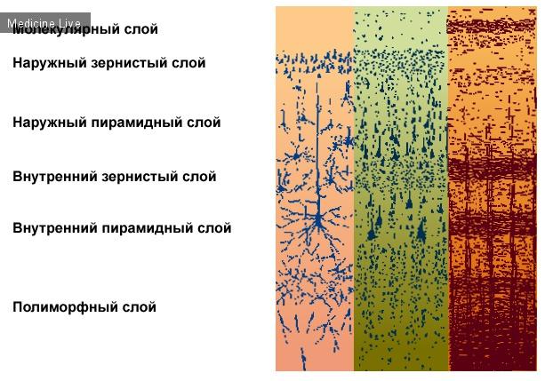 Гистология, эмбриология, цитология: Миело и Цитоархитектоника коры головного мозга