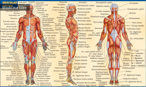 мышечная система человека картинки